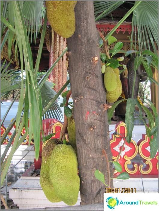 Jackfruits kasvaa puissa