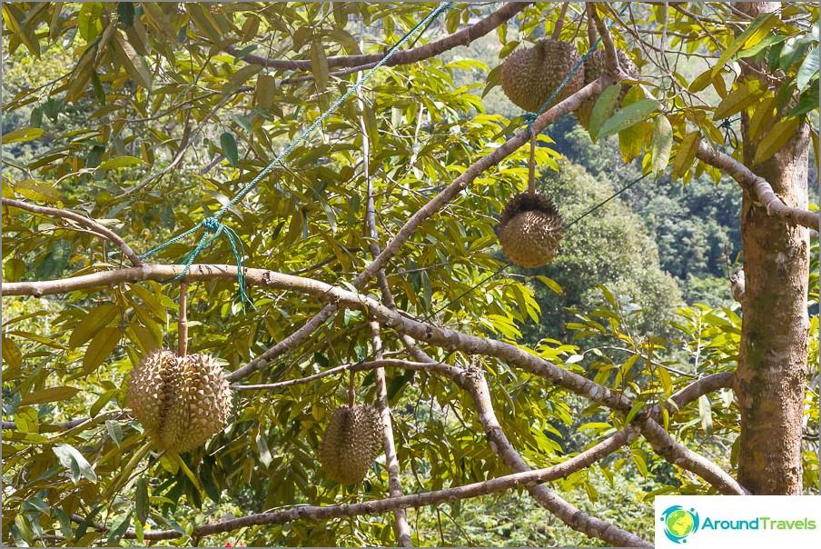 Kuinka durian kasvaa