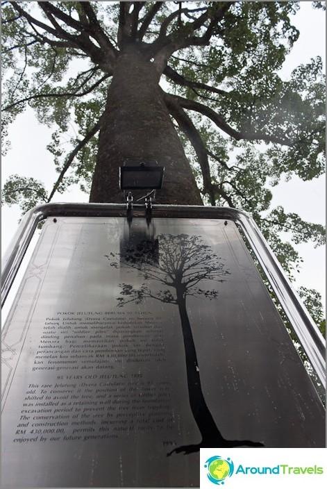 Vanha puu lähellä Menaraa