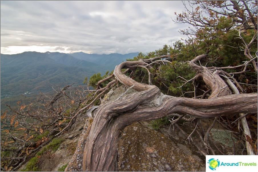 Ek-puu pehmennetty