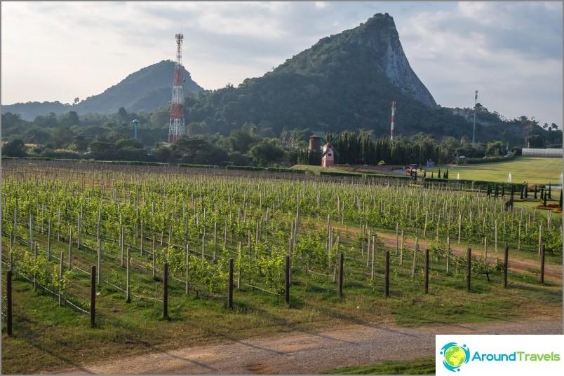 Kultainen buddhavuori kasvaavien viinirypäleiden taustalla