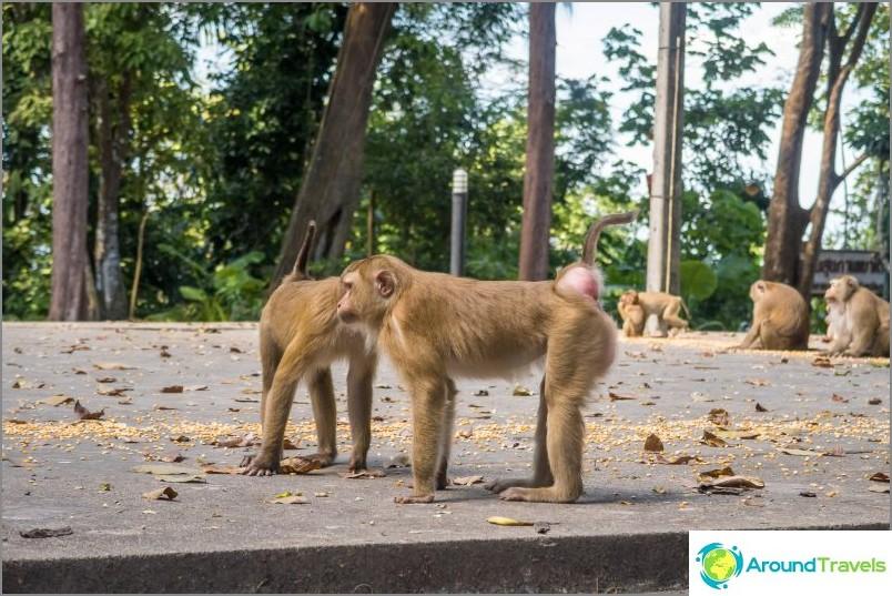 Маймуни във фикет