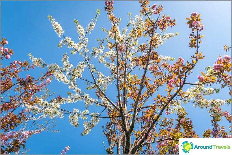 Osuuskunnan aukio - kun sakura kukkii Sotšissa