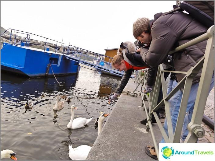 И в самия център на Прага в река Вълтава просяци лебеди