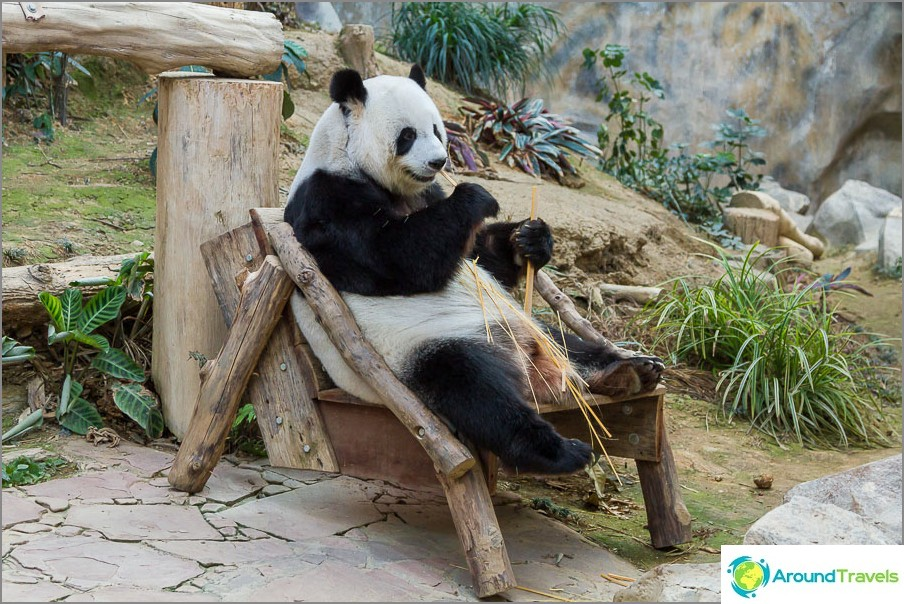 Panda istuu tuolilla ja hamsteri bambu