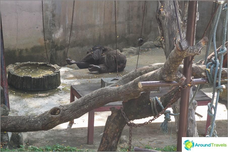 Gorilla makaa jossain etäisyydessä sulautuen taustan kanssa