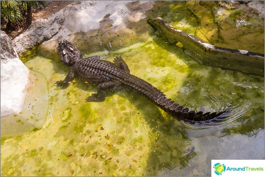 Elävä krokotiili