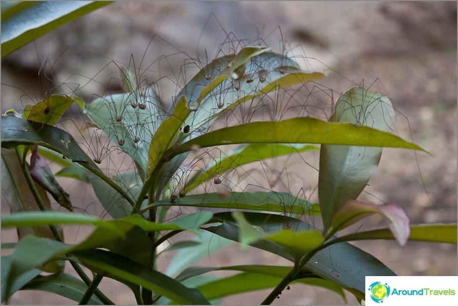 Hämähäkin pensas - kauhu!
