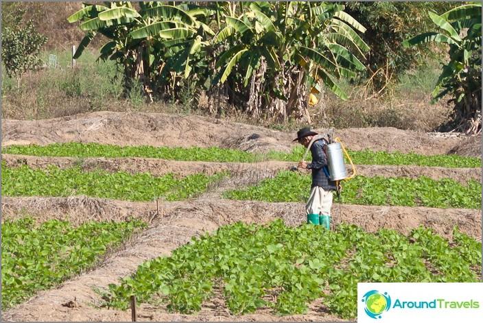 Земеделие в Пай