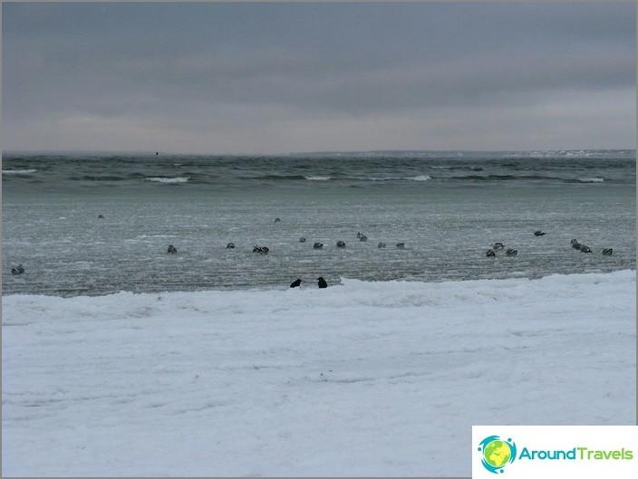 بحر البلطيق. البط.