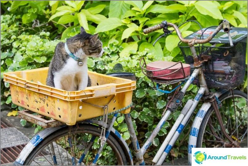 Thaimaahan koiran tai kissan kanssa