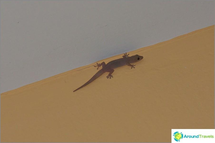 Gecko istuu katon alla tavalliseen tapaan