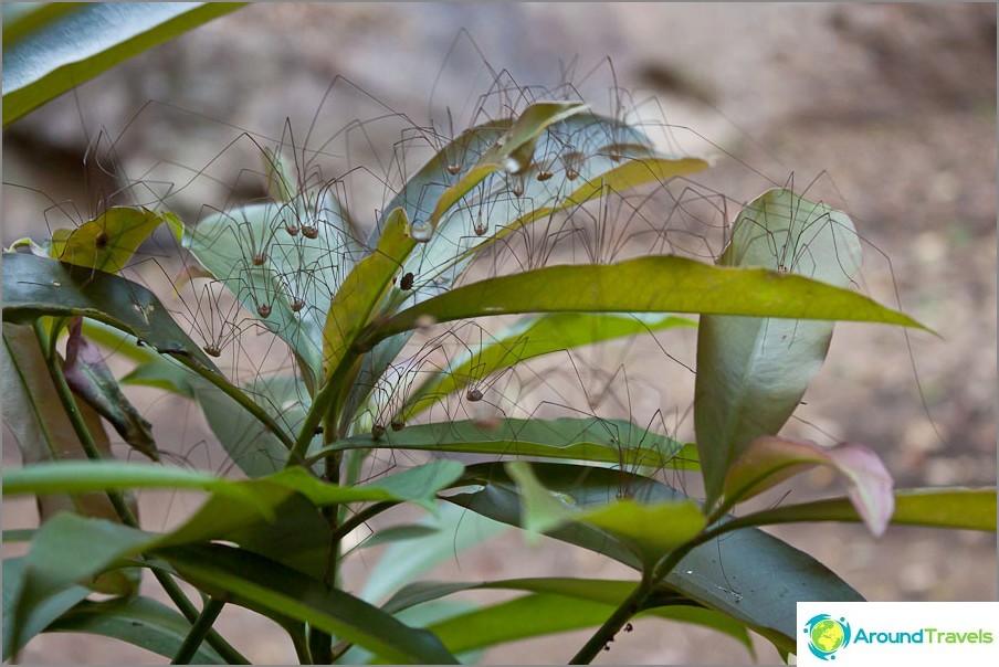Hämähäkkejä, joilla on ohuet jalat, tapasivat metsässä