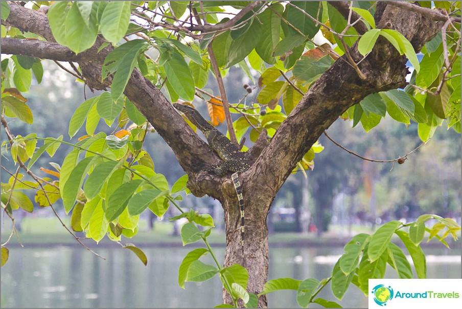 Bangkokissa ja jokien lähellä voit tavata lisko