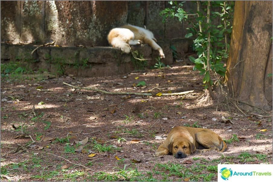 Thaimaassa on paljon koiria, he nukkuvat päivällä, haukkuvat yöllä