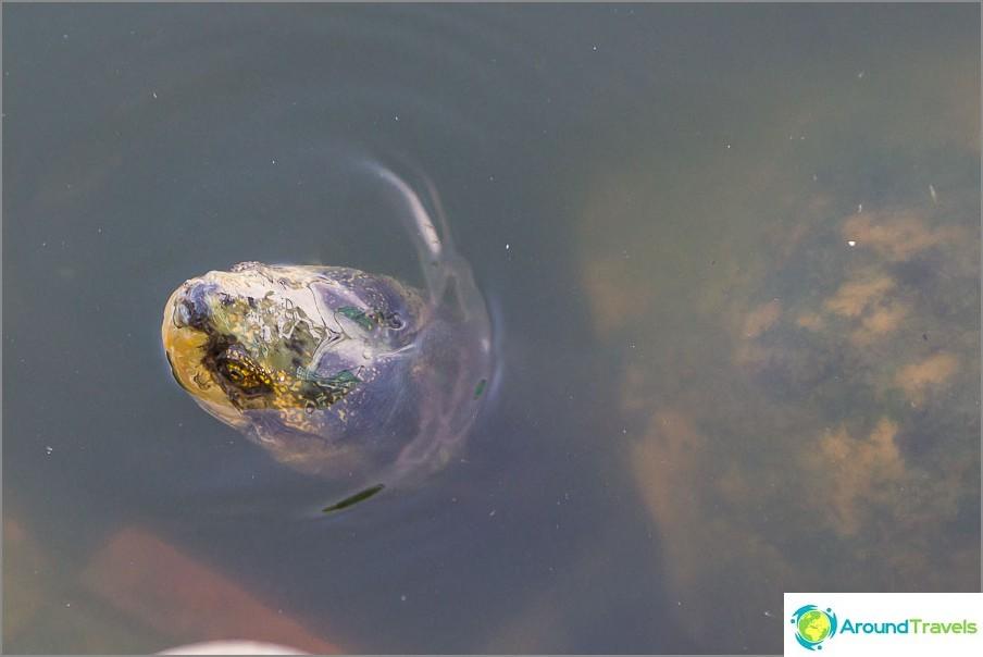 Terveet kilpikonnat lampi