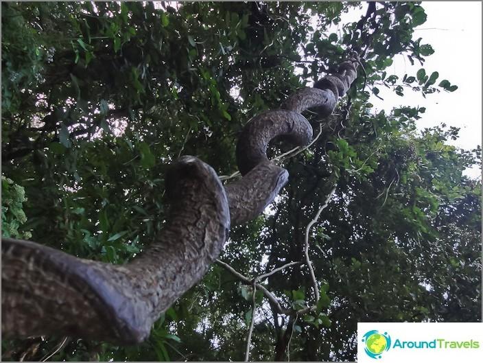 Creepers Doi Suthepin kansallispuistossa