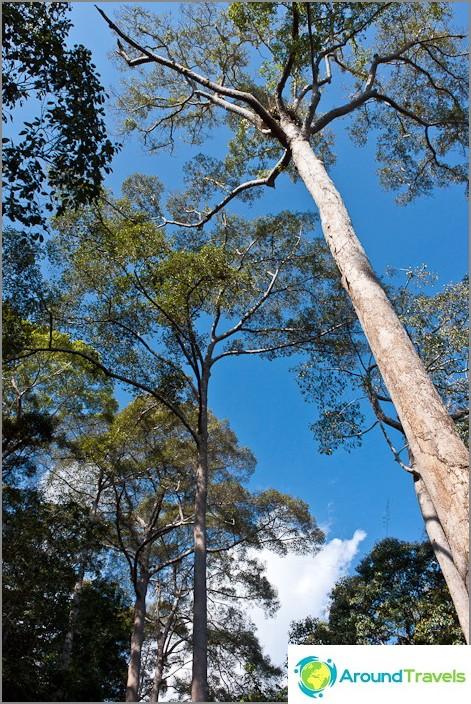 Puut viidakon korkeita
