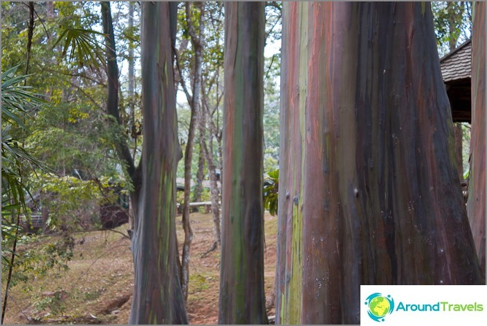 Plastiliinipuut - eukalyptuspuut