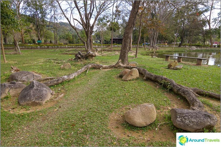 Puun juuret hiipivät ulos