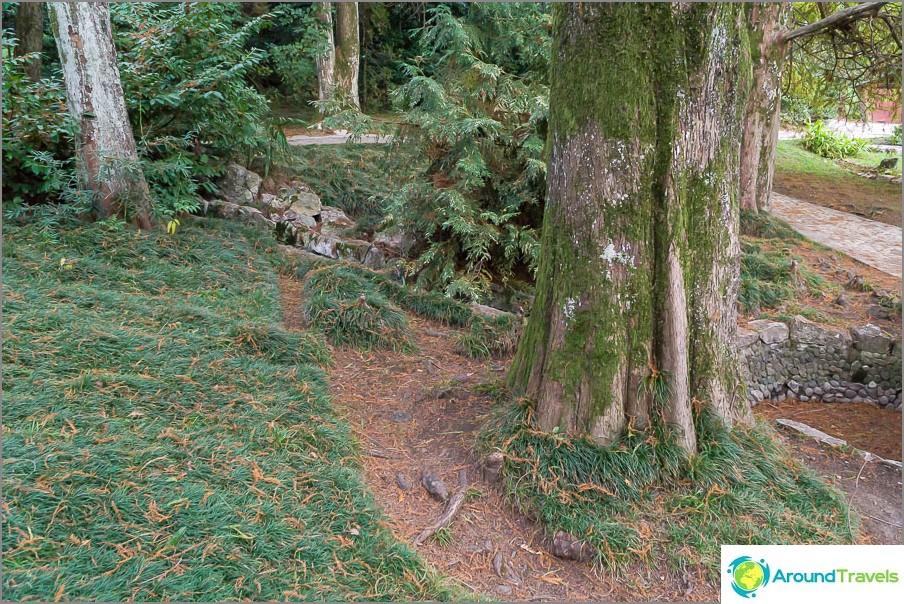 Иглите Metasequoia са в идеална хармония с ярко зелена трева