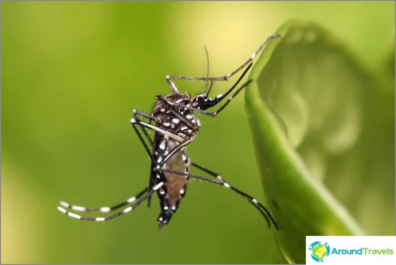 Kuljettajien hyttyset Aedes Aegypti