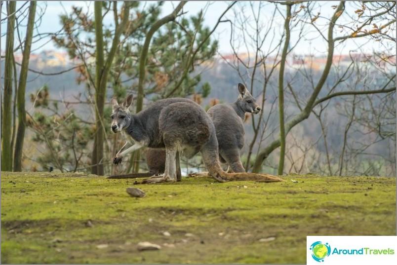 Kenguru Prahan eläintarhassa