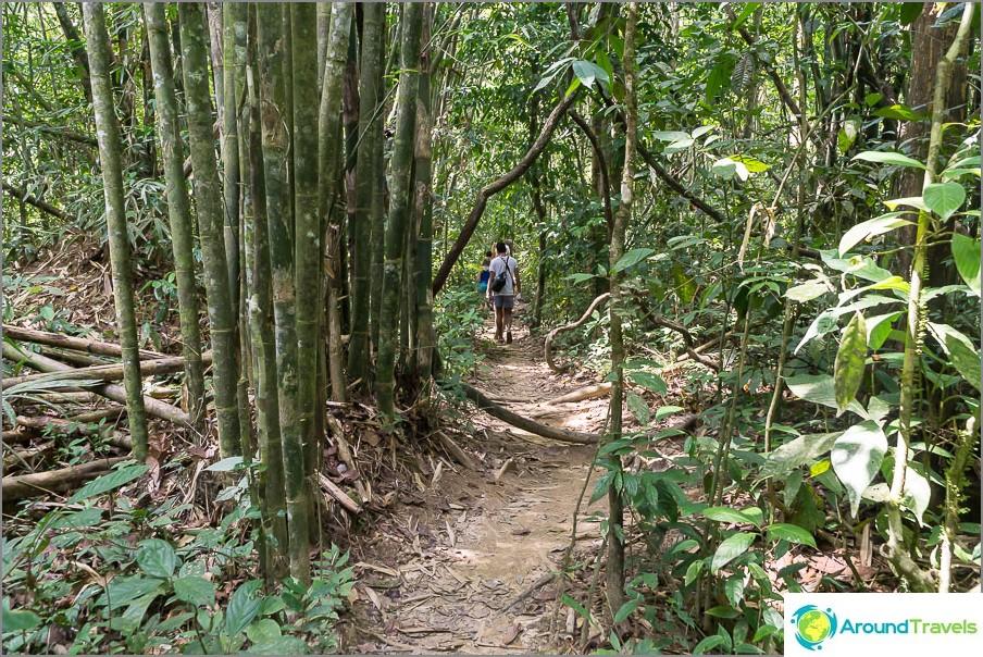 Jungle polku ympäri bambua