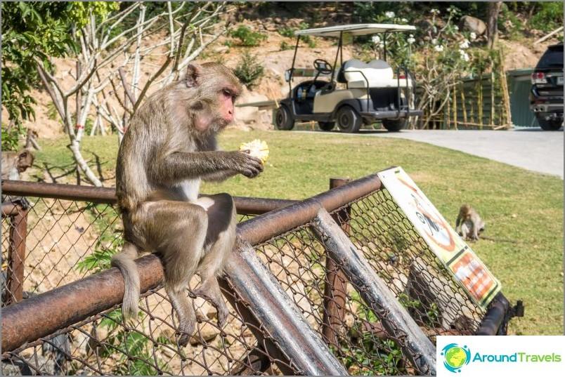 Villi apina eläintarhassa