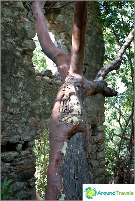 Outo puu linnoituksen raunioissa.