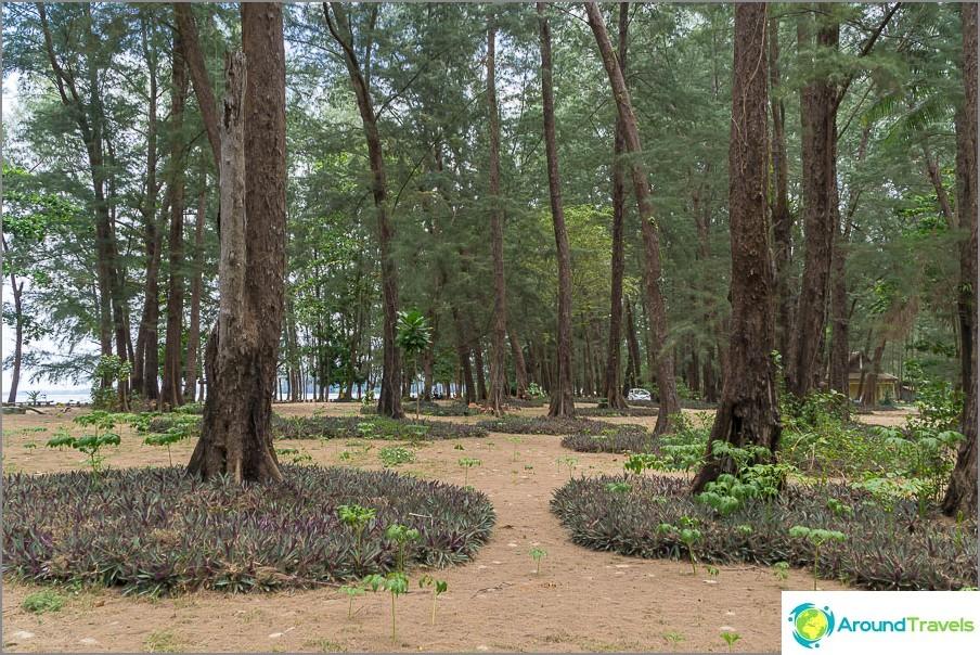 Osa rannasta on kasvatettu kasurariineilla (kansallispuisto)