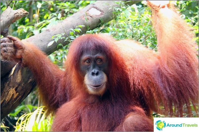 Orangutan, yrityksessä, jonka kanssa voit nauttia aamiaisen, jos vain hän ei puku kaikkea ylös / commons.wikimedia / Lionel Leo