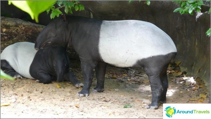 Rasva ja söpö tapiiri / commons.wikimedia / hensiyuan