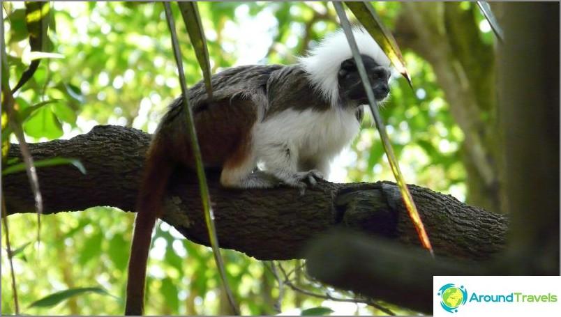 Tamarin tai Oidipus Marmoset, hauska apinat / commons.wikimedia / hensiyuan