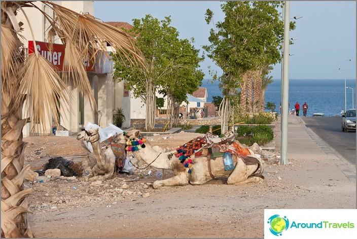 Kamelit Sharm El Sheikhissä.