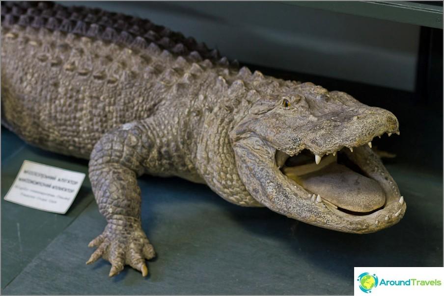 Kuivattu krokotiili