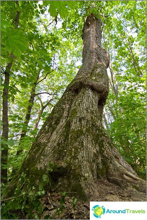 Puut erinomaisilla runkoilla