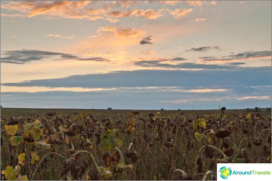 Слънчогледови полета