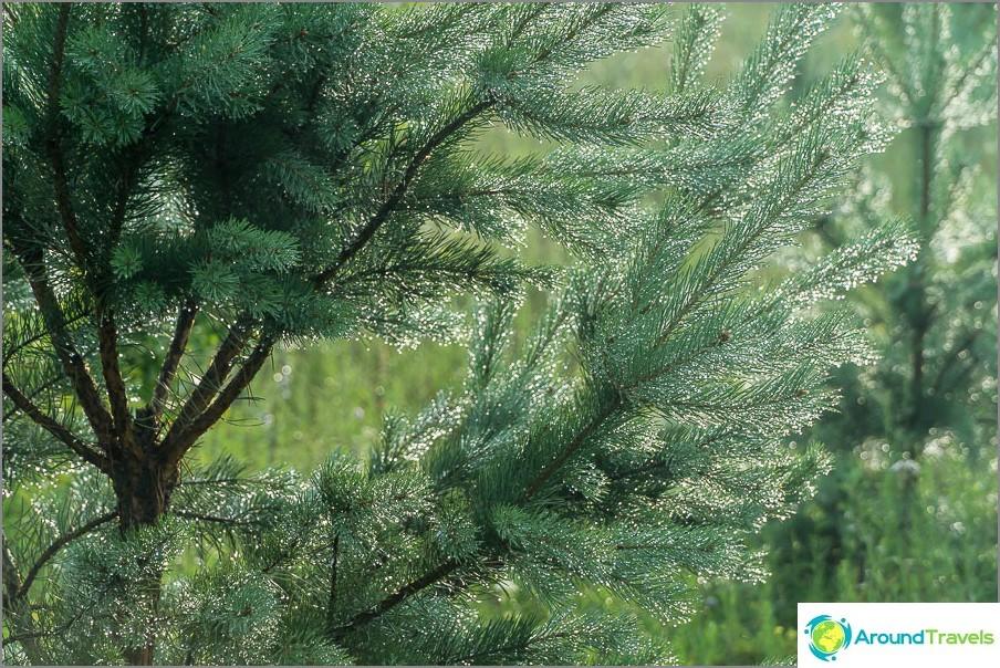 Момчетата в Славни имат цял парцел в борови дървета, още малко и те ще живеят в борова гора