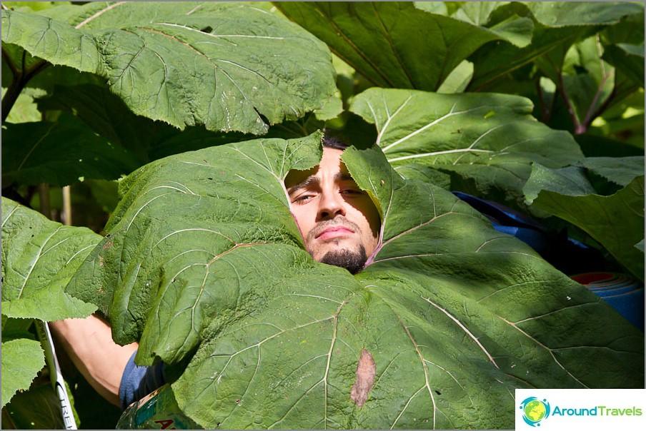 Buratocks on Suat kasvaa niin, että voit piiloutua sateelta