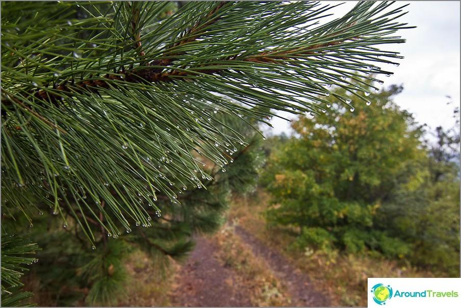 Sadepisarat tarttuivat havupuun neulaan