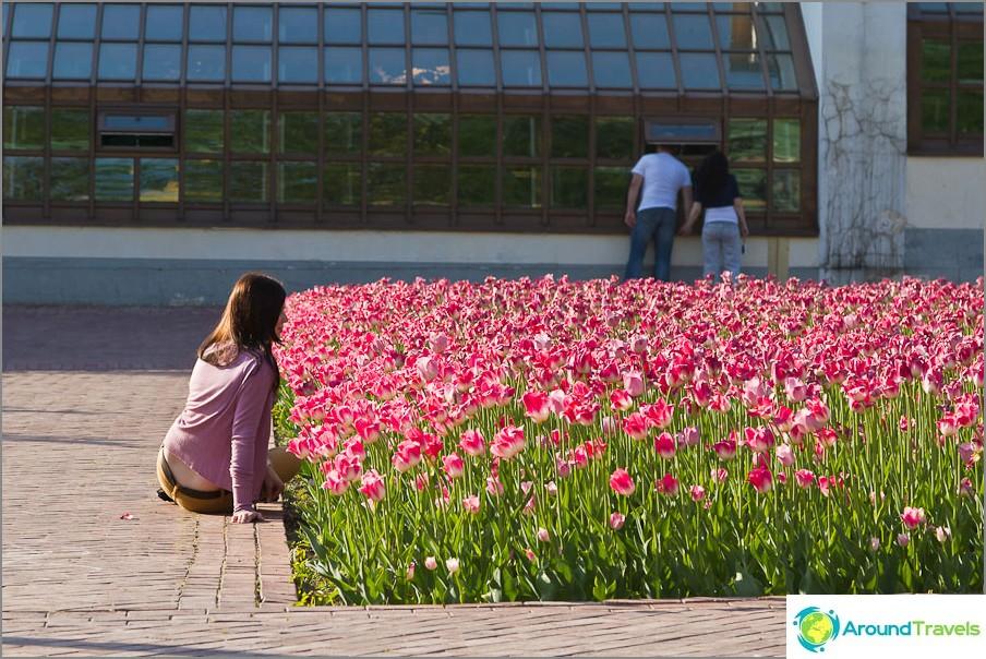 Tulppaanien valokuvaus