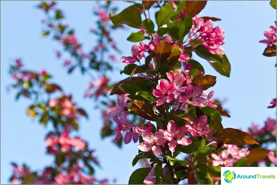 Erittäin kaunis kukkiva puu