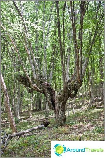 Hauskoja puita metsässä