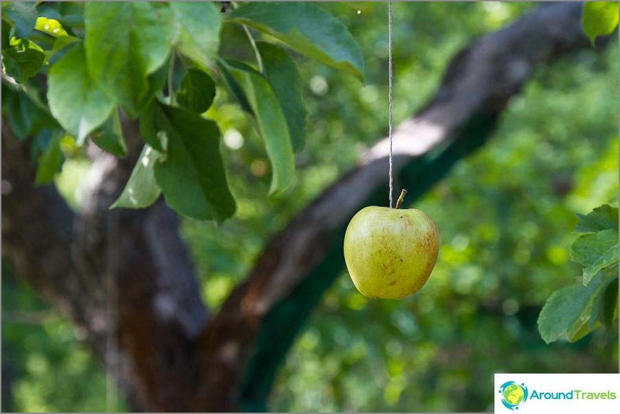 Jos omenat eivät kasva, ne voidaan ripustaa köysiin