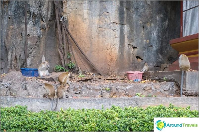 Paikalliset apinat. Vihainen, pureva, aina nälkäinen.