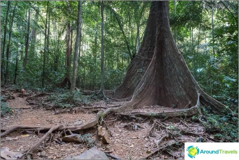 Tämän puun jälkeen et voi enää kävellä - siellä on vain viidakko
