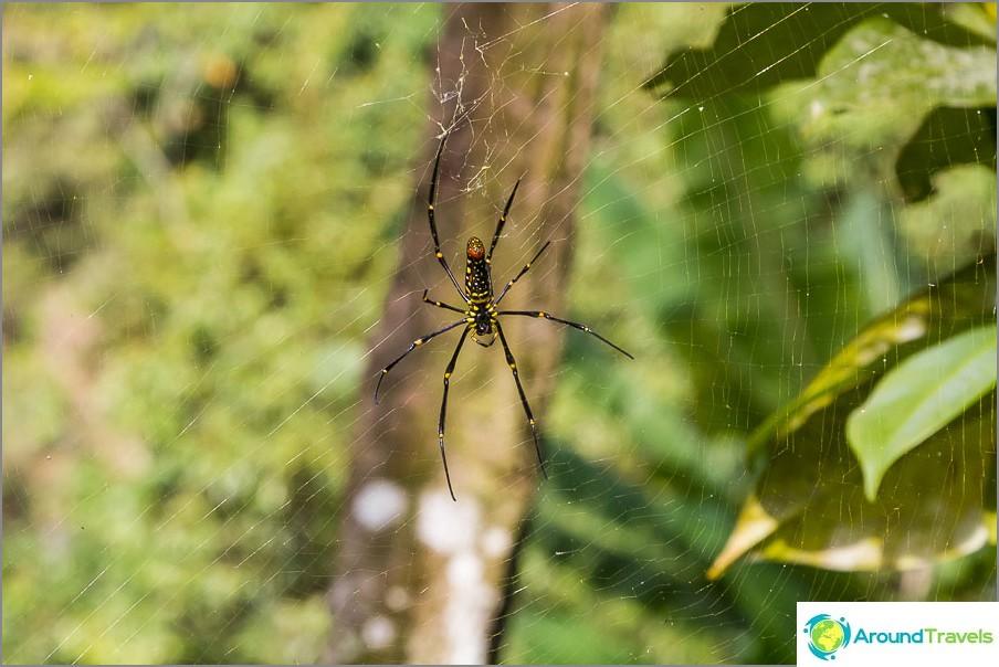 Viidakossa on suuria hämähäkkejä