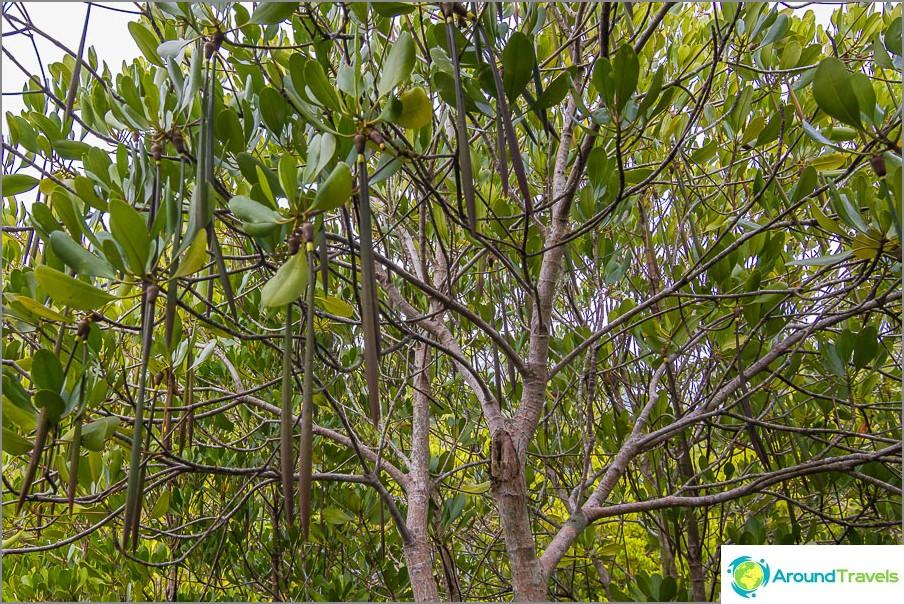 Mangrovet kasvattavat näitä palkoja.