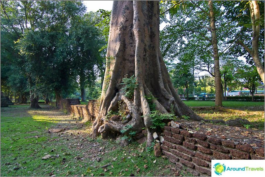 Puut ovat voittaneet paikkansa auringossa niin monta vuotta